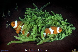 Anemone and Anemonefish by Fabio Strazzi